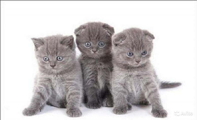 клубные котята из питомника ''sweettoy''