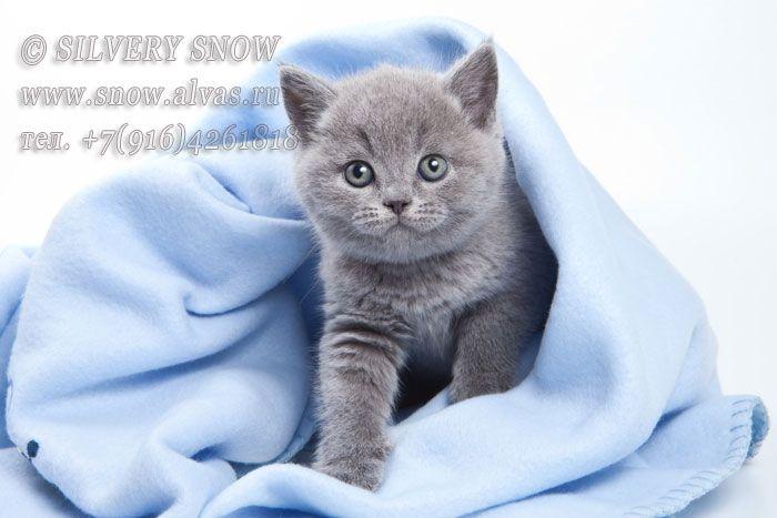 Британские котята из питомника британских кошек Silvery Snow