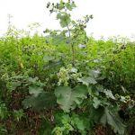 Семена полыни, слизуна, кровохлебки, цикория, лопуха, кипрея, пустырника, ятрышника.