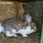 Кролики для разведения.
