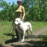 Продам взрослую собаку (Харьков) - алабай (среднеазиатская овчарка, туркменский алабай, САО)