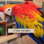 Красный ара - ручные птенцы из питомников Европы