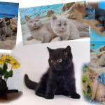 Британские котята лиловые, голубые, черные.