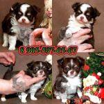 Чихуахуа. щенки редких окрасов, здоровенькие и красивые