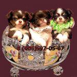 Чухуахуа чудесные щенки для любви и обожания