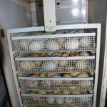 Инкубатор для Птицы ИФХ-500Н (автомат)