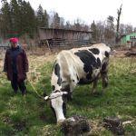 Продаю породистую корову (30л.молока/день)