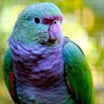 Винногрудый амазон (Amazona vinacea) - ручные птенцы из питомника