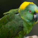 Желтошейный амазон (Amazona auropalliata) - ручные птенцы из питомника